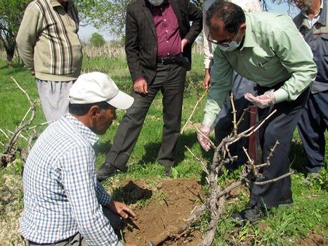 عملیات سرشاخه کاری انگور در شهرستان قوچان