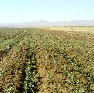 کاشت کلزا در استان فارس آغاز شد