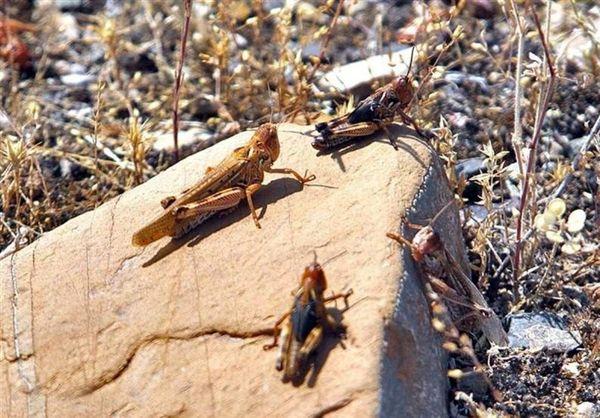 در شهرستان بم مبارزه علیه آفت خطرناک ملخ صحرائی انجام شد.