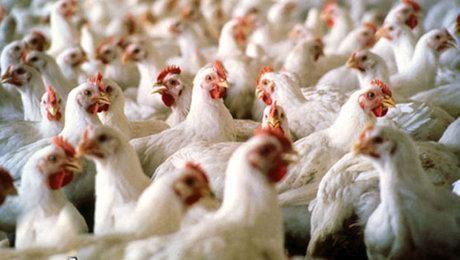 خرید تضمینی گوشت مرغ در چهارمحال و بختیاری
