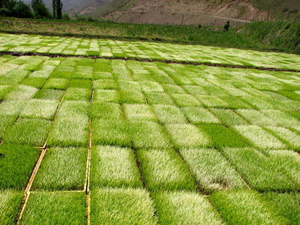 خزانه گیری  برنج در شالیزارهای  شهرستان قزوین آغاز شد