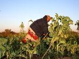 نقش عمده زنان کارآفرین در کشاورزی