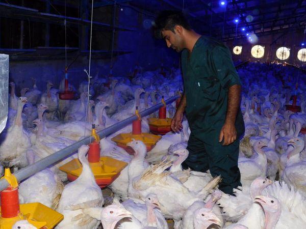 واکسیناسیون علیه آنفلوانزای پرندگان به مزارع بوقلمون قزوین رسید