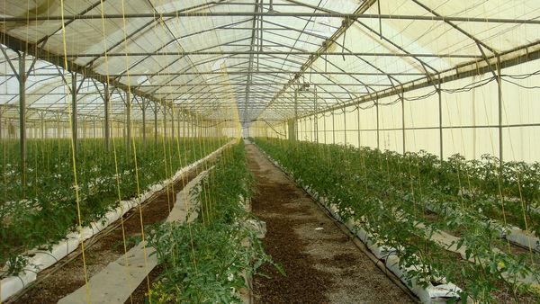 گلخانههای قزوین تا پایان سال جاری 23 هکتار توسعه مییابند