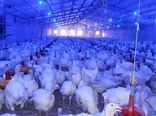 تولید و عرضه 3700تن گوشت بوقلمون سالانه در واحدهای پرورش استان مرکزی