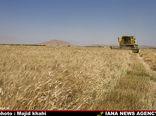 تولید بیش از 200 هزار تن گندم در خراسان شمالی