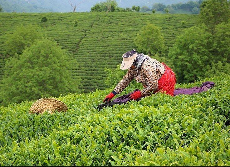قیمت خرید تضمینی برگ سبز چای و پیله تر ابریشم برای سال زراعی 99-1398 تعیین شد