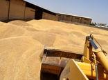 گندم مازاد کشاورزان سقزی در ۹ مرکز خریداری میشود