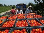 ممنوعیت صادرات رب و نبود اعتبار برای خرید حمایتی گوجه فرنگی
