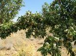 افزایش 41 درصدی تولید بادام در چهارمحال و بختیاری