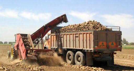 برداشت چغندر قند از مزارع کشاورزی استان قزوین آغاز شد