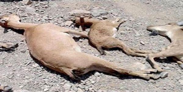 طاعون علت مرگ وحوش در استان خراسان شمالی است