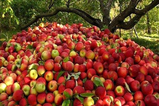 برداشت ۶۸ هزار تن سیب از باغات استان لرستان