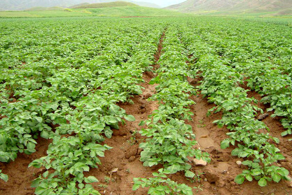 اختصاص بیش از 24 هزار هکتار از اراضی کشاورزی به کشت بهاره