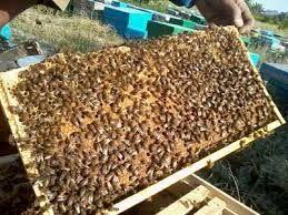 رتبه نخست بابل در تولید عسل در مازندران