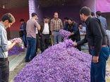 راهاندازی ۳۰ غرفه خرید گل زعفران در خراسان شمالی