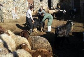 مایه کوبی بالغ بر یک میلیون راس دام سبک و سنگین علیه بیماری تب مالت در آذربایجان غربی