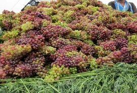 راندمان تولید انگور در باغات استان افزایش می یابد