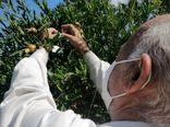 مبارزه بیولوژیک با آفت کرم گلوگاه انار در ۶۰ هکتار از باغات انار قزوین انجام شد
