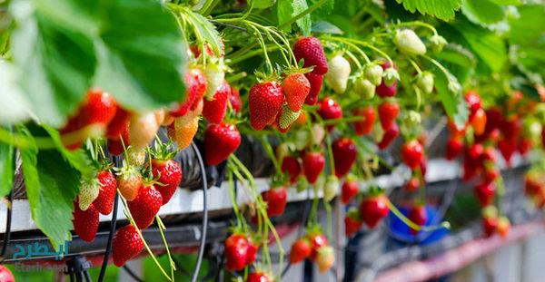 آغاز برداشت توتفرنگی از گلخانههای البرز
