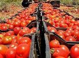 خرید حمایتی بیش از ۱۳ هزار تن گوجهفرنگی توسط تعاون روستایی خوزستان