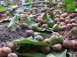 برداشت 400 تن گردو از باغهای شهرستان نیریز
