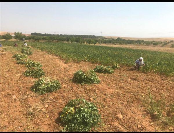 پیش بینی تولید 3 هزار تن لوبیا در شیراز