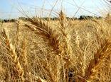 380 هزار هکتار از اراضی آذربایجان غربی زیر کشت گندم پاییزه می رود