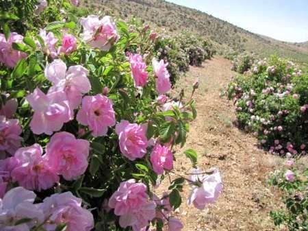 برداشت بیش از 60 تن گل محمدی در خرم بید