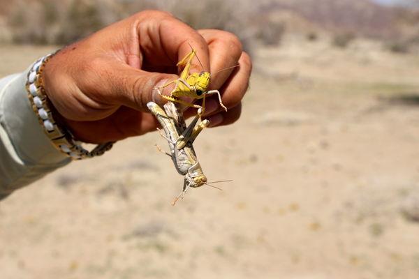 مبارزه با ملخ صحرایی در سیستان و بلوچستان از مرز ۲۱۱ هزار هکتار گذشت