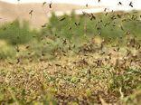 9 استان جنوبی کشور درگیر آفت ملخهای صحرایی