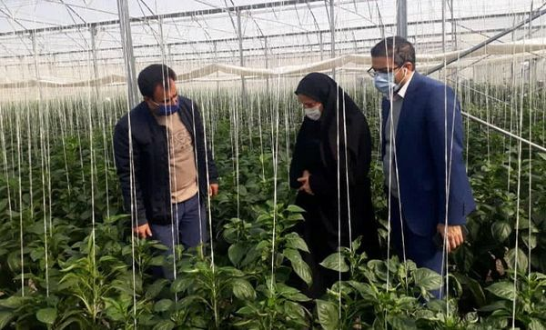 بازدید از گلخانه گوجه فرنگی شهرستان شهریار در راستای تسهیل و رفع موانع تولید