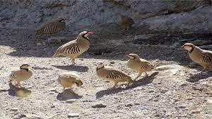 رها سازی 10 قطعه کبک در منطقه شکار ممنوع در شیراز