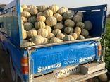 برداشت ۴۰ تا ۴۵ تن طالبی از مزارع شهرضا
