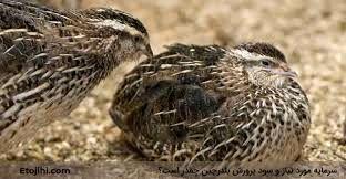 استان بوشهر پایلوت تولید و پرورش بلدرچین در کشور