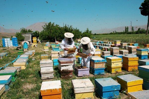 سرشماری زنبورستان های استان از تاریخ ششم لغایت نوزدهم مهرماه انجام خواهد شد