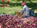 برداشت سیب از باغات ارومیه