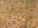 خسارت خشکسالی به مزارع گندم دیم کازرون