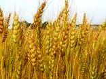 درسال زراعی جاری برای اولین بار در کشور گندم قراردادی کشت شد