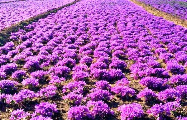 کشت و تولید زعفران در خراسان شمالی سیر صعودی داشته است