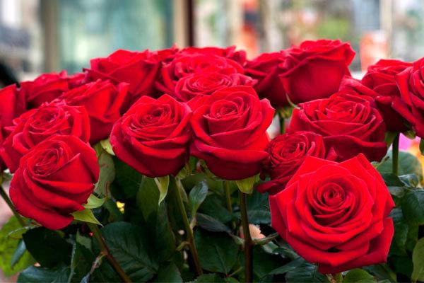 تولید 10 میلیون شاخه گل رز در چهارمحال و بختیاری