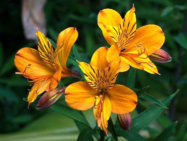 تولید سالانه یک میلیون شاخه گل آلسترومریا در اردل