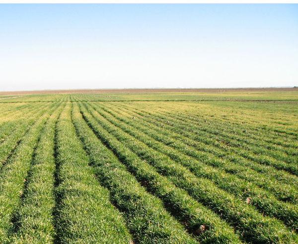 20 هزار هکتار از مزارع زیر کشت گندم رفت