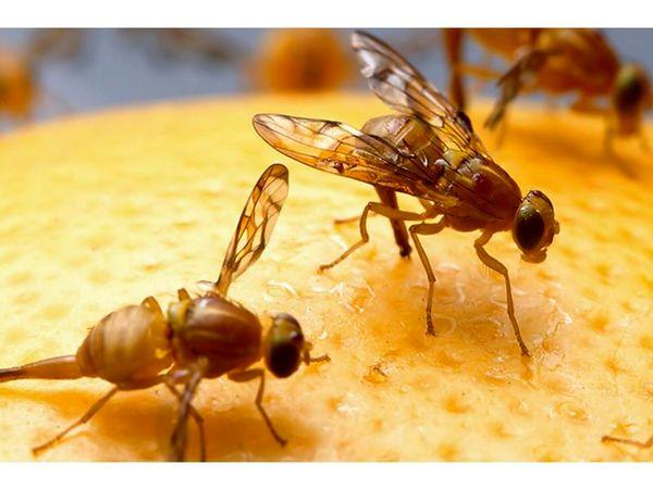 ردیابی مگس میوه در 980 هکتار از باغهای آمل