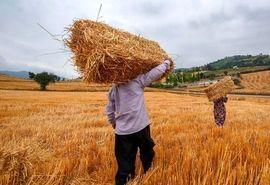 14 میلیون تن گندم در سال زراعی 98-97 تولید شد