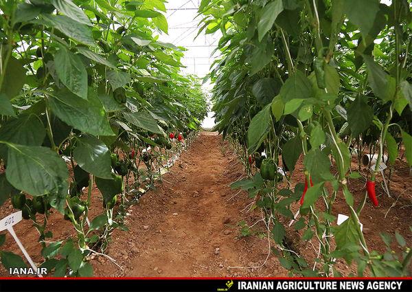 تولید 50 هزار تن محصولات گلخانهای درسیستان و بلوچستان