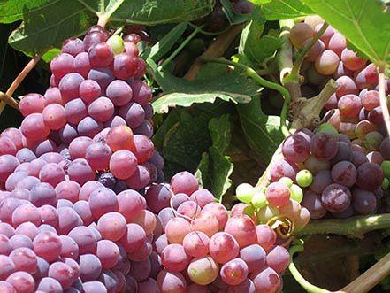 35 هزار تن انگور یاقوتی در سیستان و بلوچستان برداشت شد