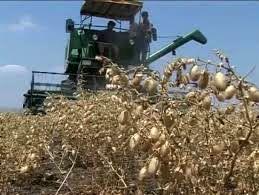 تولید 12 تن بذر نخود رقم پابلند در فارس