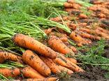 آغاز برداشت هویج از مزارع زیر کشت این محصول در لرستان
