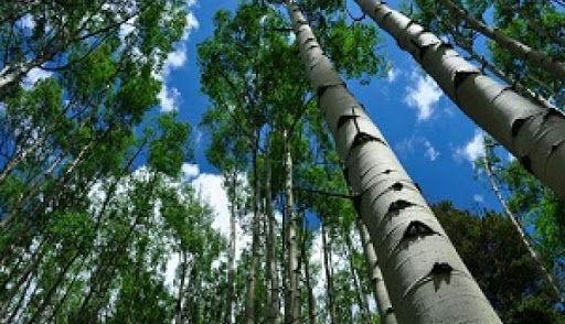 زراعت یک هزار و 600 هکتار چوب در چهارمحال و بختیاری